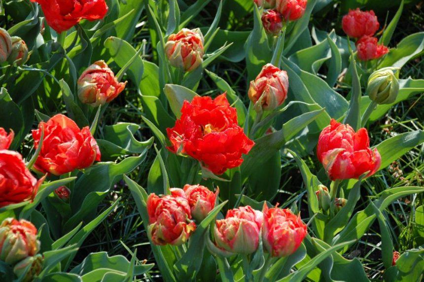Tulpenpracht Schönste Fotos 2019