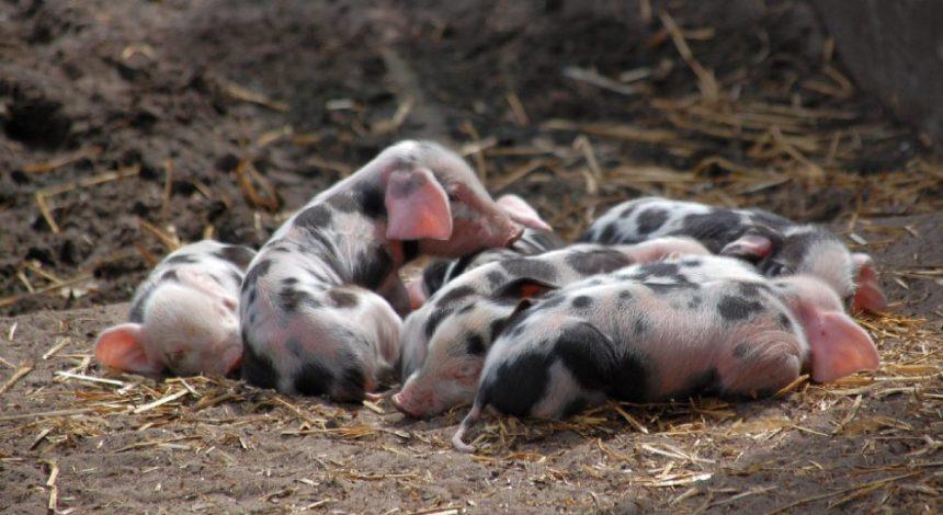 Buntes Bentheimer Schwein Ferkel