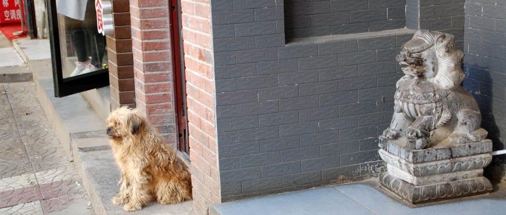Xi'an Löwe Hund