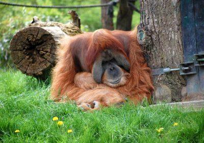 Orang Utan im Zoo Leipzig.