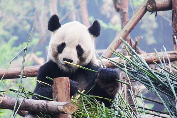 Panda frisst 30 kg Bambusstangen, Bambusrohre und Bambusstäbe pro Tag