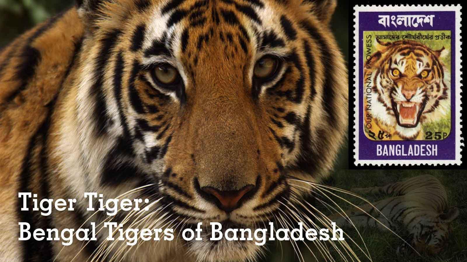 Tiger-Tiger-Bengal-Tigers-of-Bangladesh