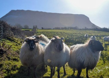 Sheep at Benbulbin, Sheep Achill Island, Ireland, Mayo