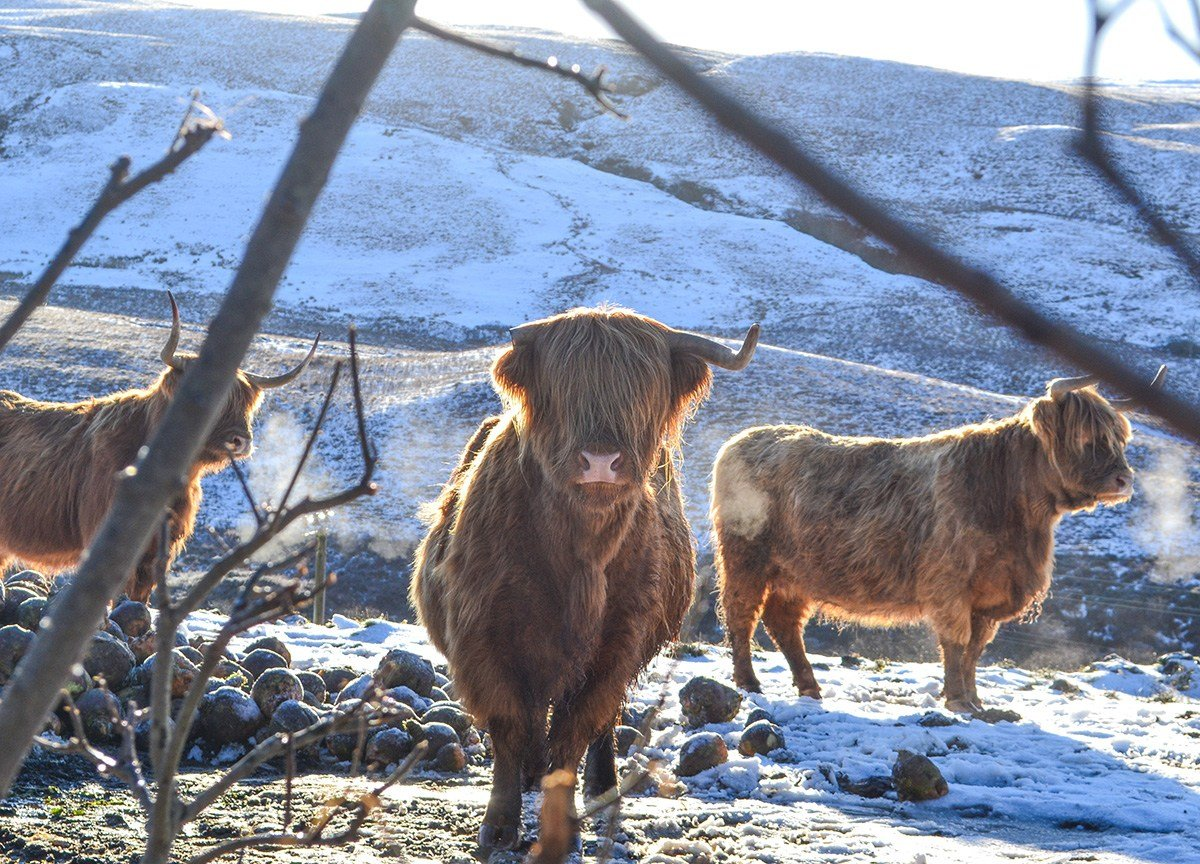 Highland Cattle, Scotland Road Trip in Scottish Highlands in Winter Snow