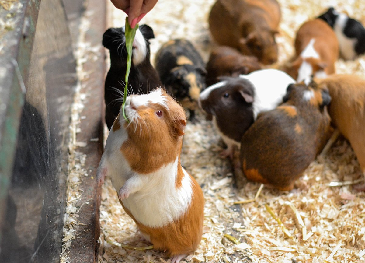 Guinea Pigs at Streamvale Open Farm Dundonald NI