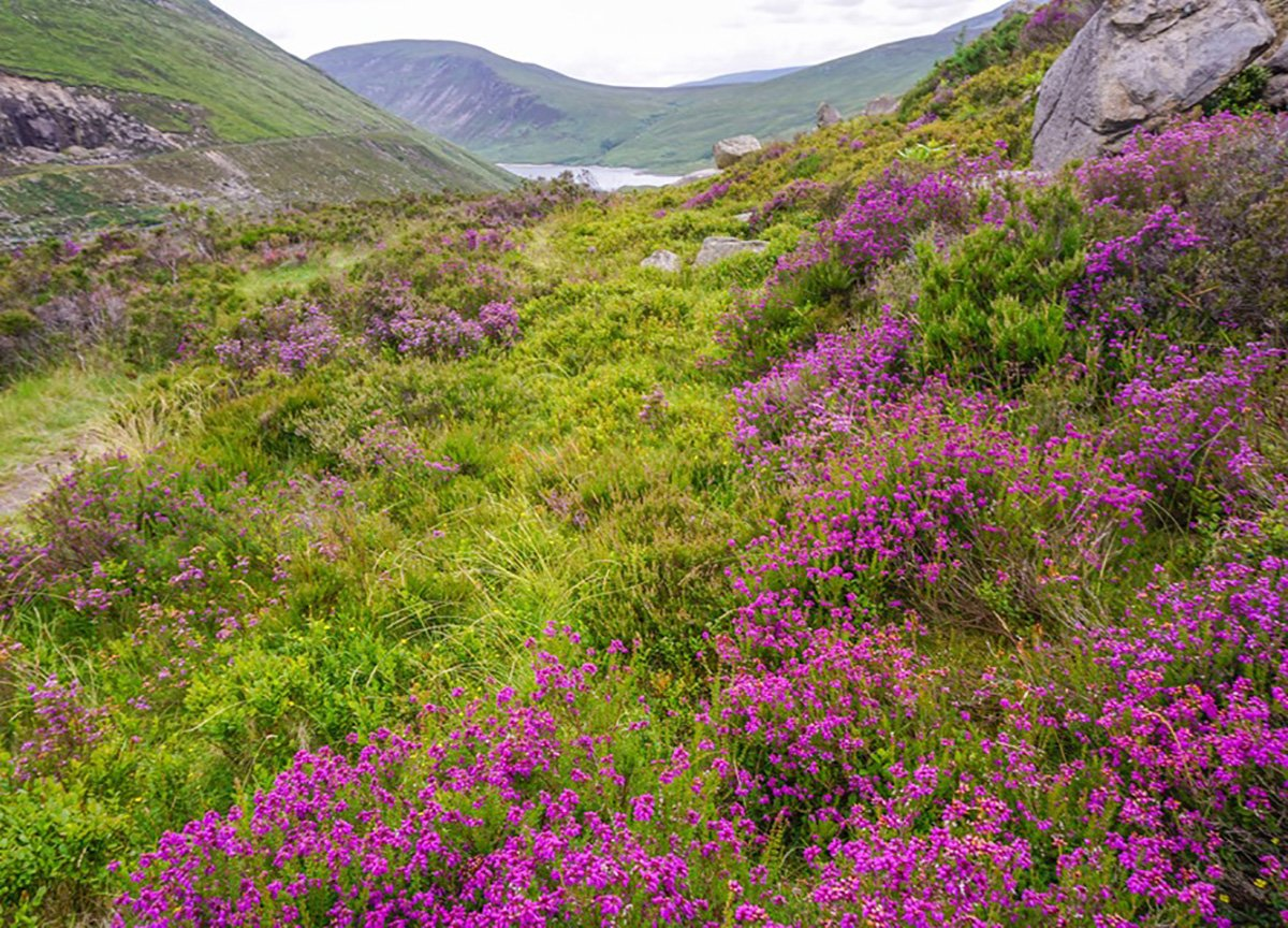 Wild Flowers at Mourne Mountains Ben Crom Mountain Reservoir