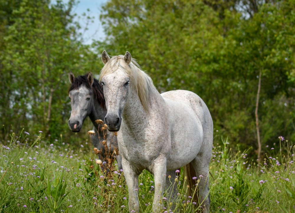 Wild Horses Camargue, Road Trip in Southern France and Borders June