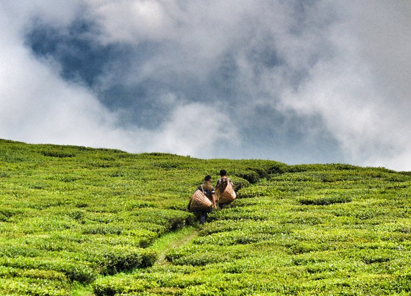 Temi Tea Gardens Sikkim. Eating Himalayan Food in the Himalayas