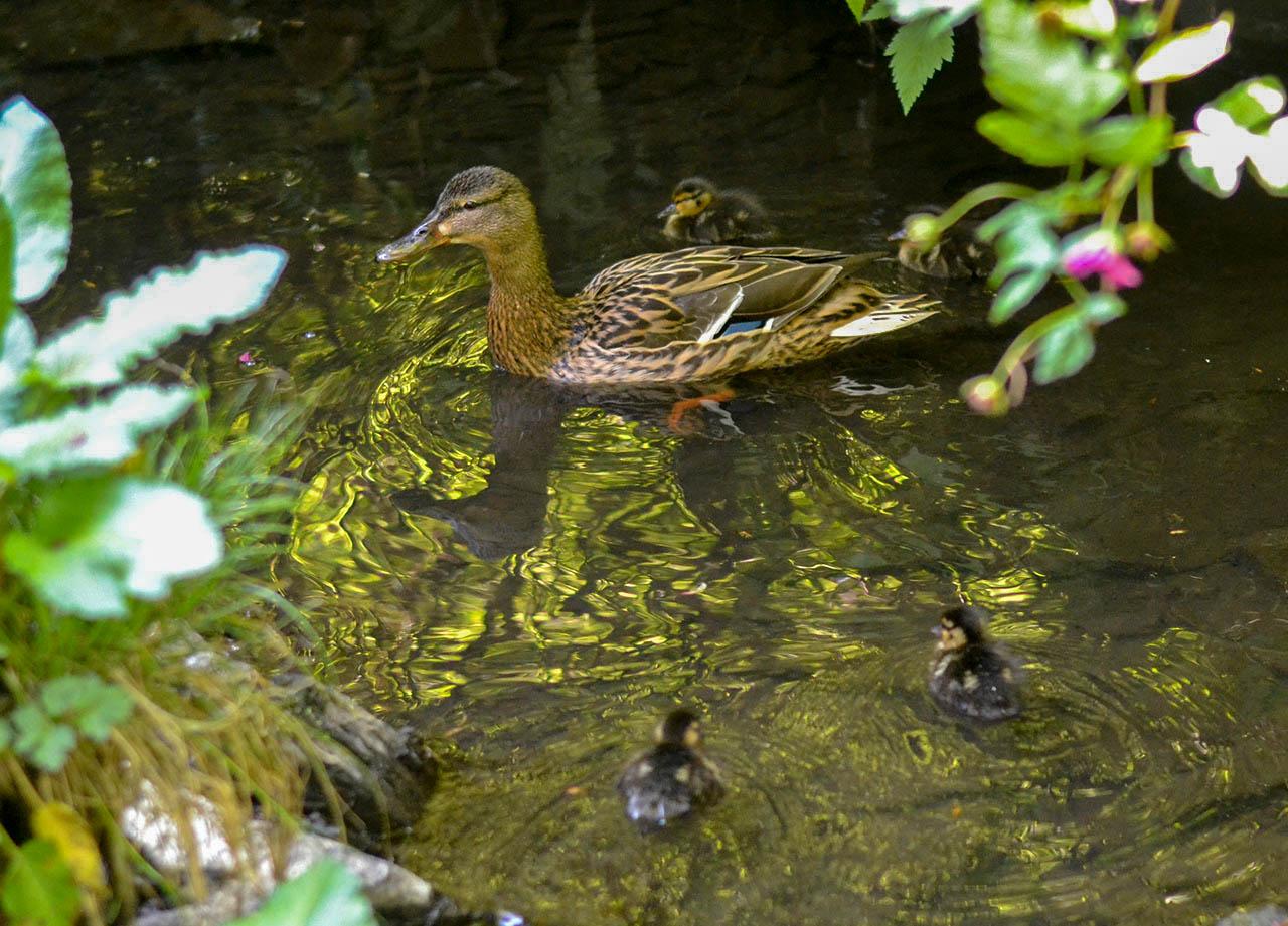 Baby Ducklings Family Ponds in Stricklands Glen Bangor in Spring Northern Ireland