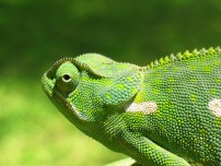 Chameleon_2006-01