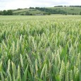 The UK may be about to take a small step closer toward commercial production of high-yielding genetically modified wheat. Agricultural institution Rothamsted Research has applied […]