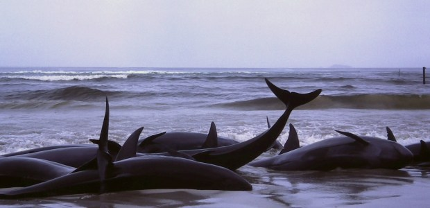 In the third largest whale beaching event in the history of New Zealand, over 400 pilot whales washed up onto the country's South Island last […]