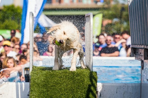 Richmond, VA stop motion of white dog with green tennis ball in mouth shaking water from coat as it competes in the Riverrock Sports and Music Festival.