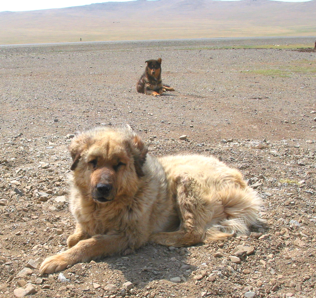 Buryat-Mongolian Wolfhound: breed description, characteristics and features 43