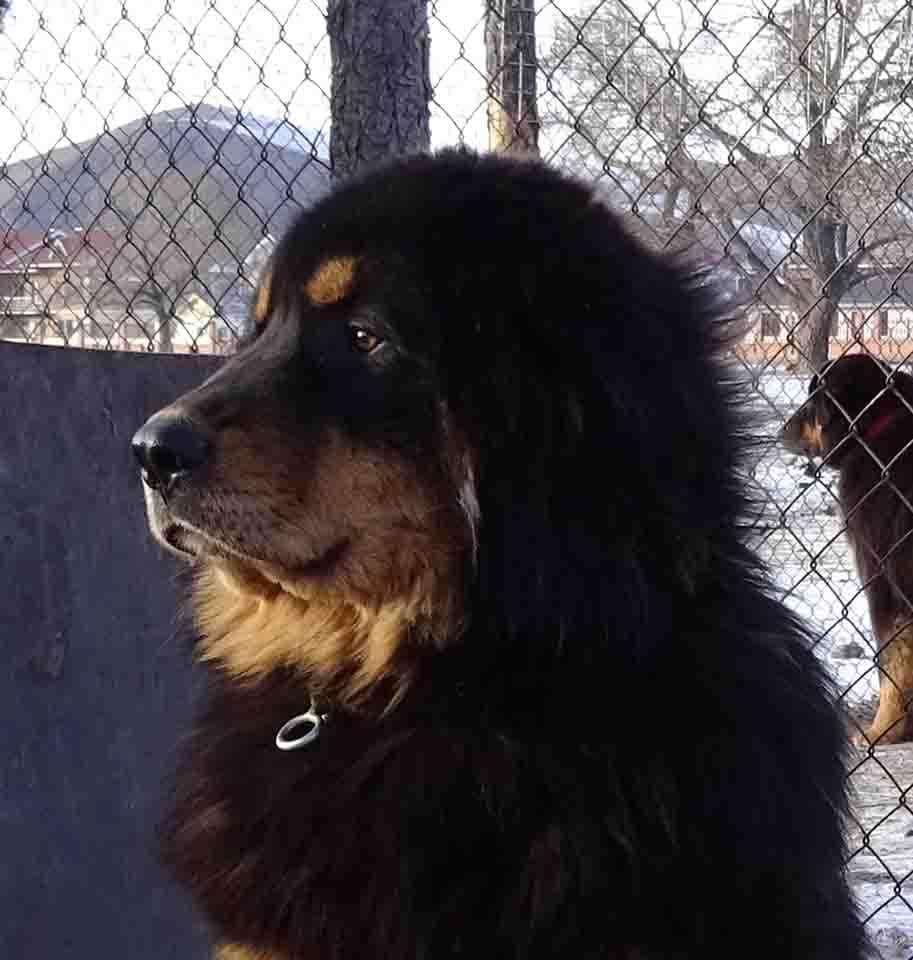 The Bankhar Dog | Mongolian Bankhar Dog Project