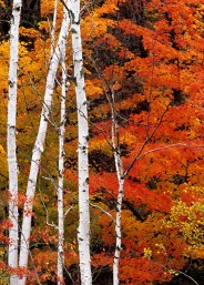 White birch trunks and red maple trees in autumn, Greater Sudbury, Ontario, Canada