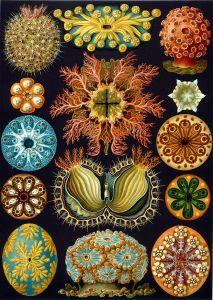 Haeckel, Ernst, Ascidiae_Banque de l'image
