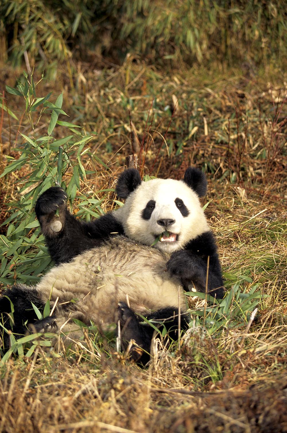 Panda géant ©thinkstock, Banque de l'image