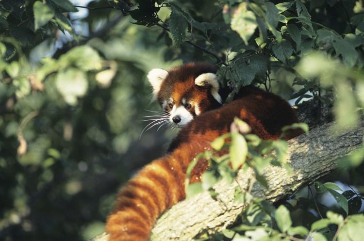 Panda roux ©thinkstock, Banque de l'image