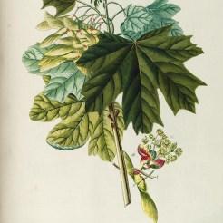Georg-Dionysius-Ehret-Plantae_selectae_quarum_imagines_ad_exemplaria_naturalia_Londini,_in_hortis_curiosorum_nutrita_(Tab._XCI)_BHL678021