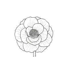 Black and white illustration of papaver (poppy) flower head