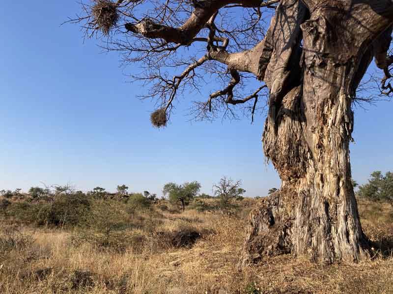 Baobab conservation