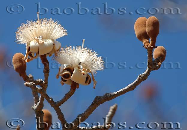 Adansonia or baobab