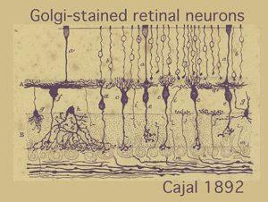Grafico neuronas de Ramon y Cajal