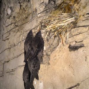 chimney swift fledglings