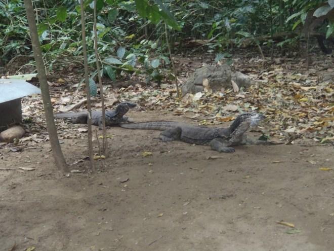 varans du parc national de St Paul à Palawan