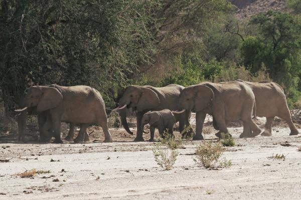 Troupeau d'éléphants du désert namibien - blog Bar à Voyages
