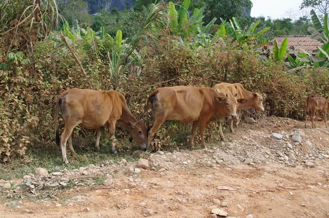 Vaches Laos