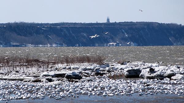 Les berges du Saint-Laurent abritent de nombreux oiseaux migrateurs - Québec