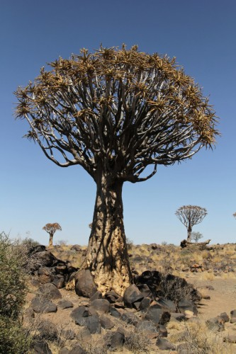 kokerboom-Namibie-blog-bar-a-voyages