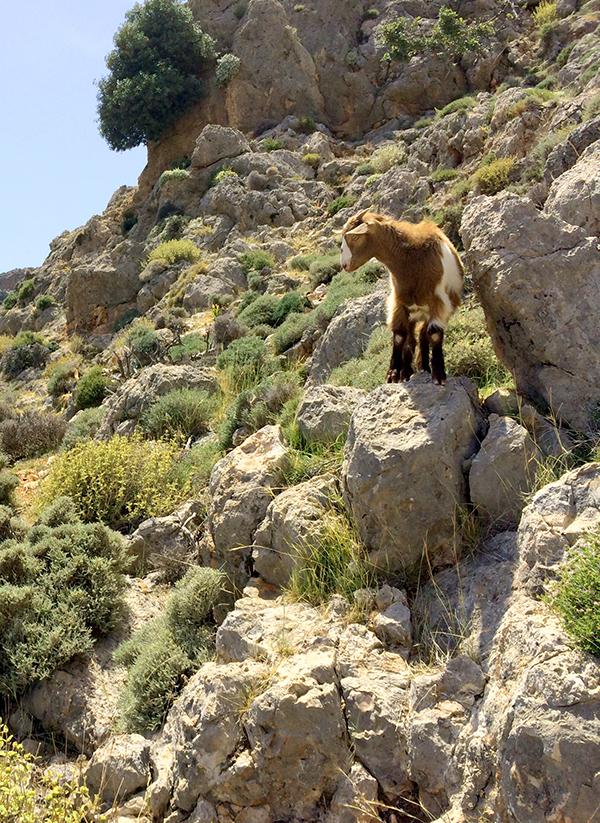 Le camping sauvage peut être une bonne option en Crète... Mais attention aux chèvres en liberté !