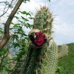 Cactus local à la Serra da Capivara ©Felipe Mendes
