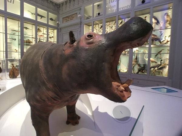 Hippopotame au Muséum de Bordeaux