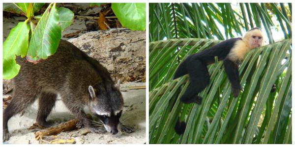 Raton laveur et singes de la plage du parc de Manuel Antonio