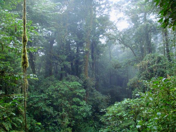Lianes dans la jungle du Costa Rica