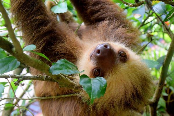Un paresseux accroché dans un arbre au Costa Rica