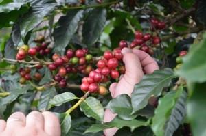 piantagioni-di-caffè
