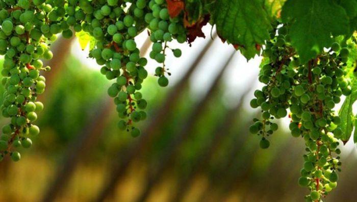 numeri in crescita per il vino vegano