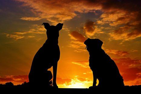 تفسير رؤية الكلاب في المنام للشيخ العالم ابن سيرين