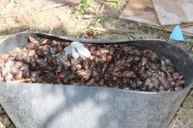 Captured Giant African Snails.