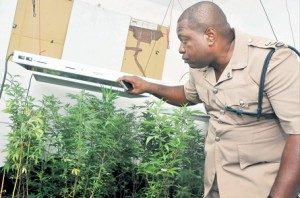 Inspector David White of the St Andrew North Police Division inspects one of the lights used at the hydroponic ganja farm, which was discovered at a house on Old Stony Hill Road, St. Andrew, yesterday.