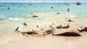 dolphinsbeachedatbrownesbeach