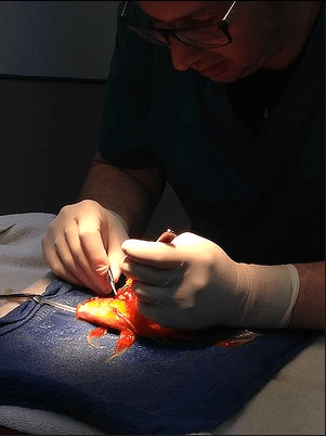 George the goldfish undergoing intricate surgery at Lort Smith Animal Hospital in Melbourne.