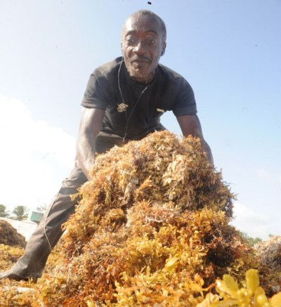 Arthur Collymore is committed  to cleaning up the Sargassum seaweed  off the beaches.