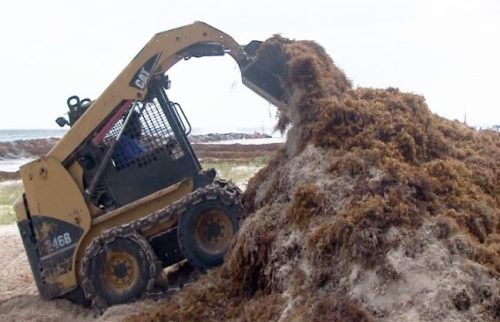 A bobcat clearing the seaweed on the Hilton Hotel beach which in some places is four to six feet deep.
