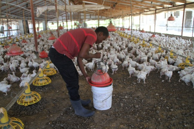 Demar Linton tending to some of the chickens on the farm.